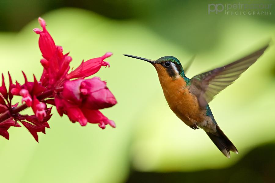 Kolibřík fialovohrdlý