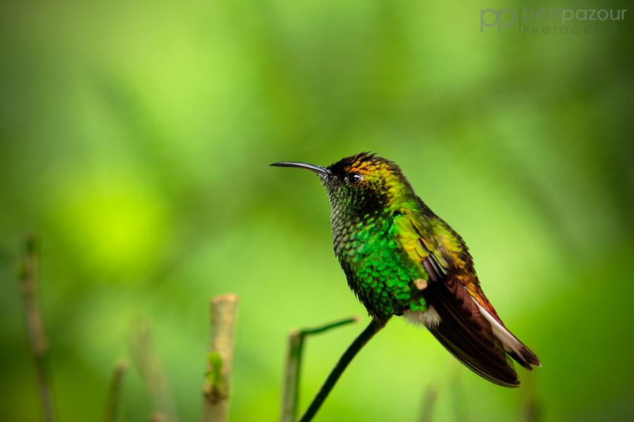Kolibřík měděnohlavý