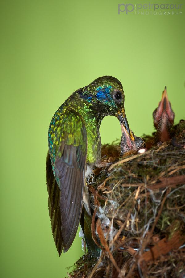 Kolibřík zelený krmí mladé