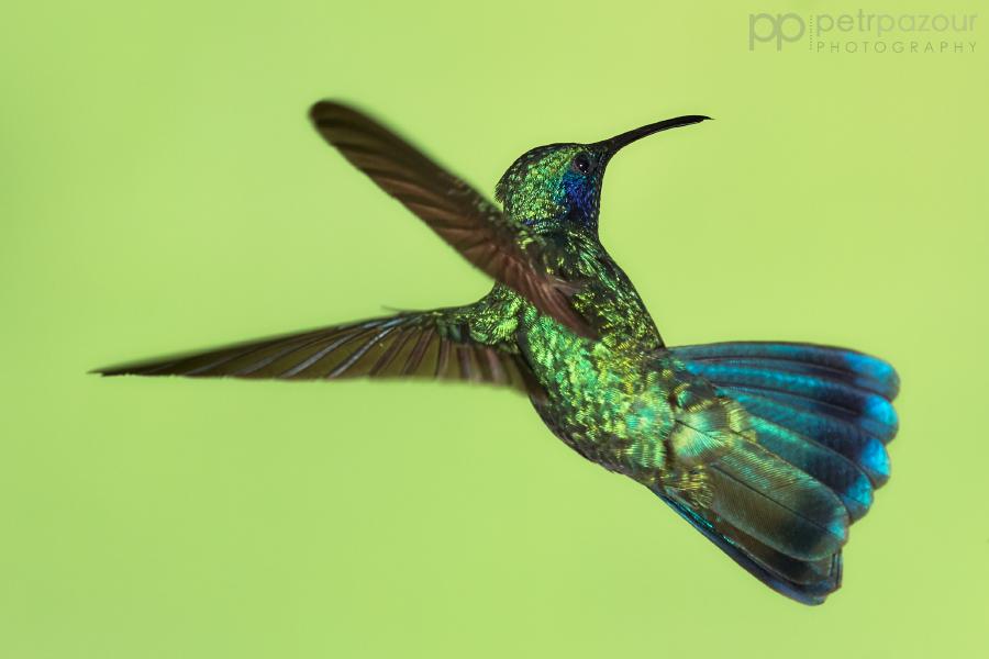 Kolibřík zelený