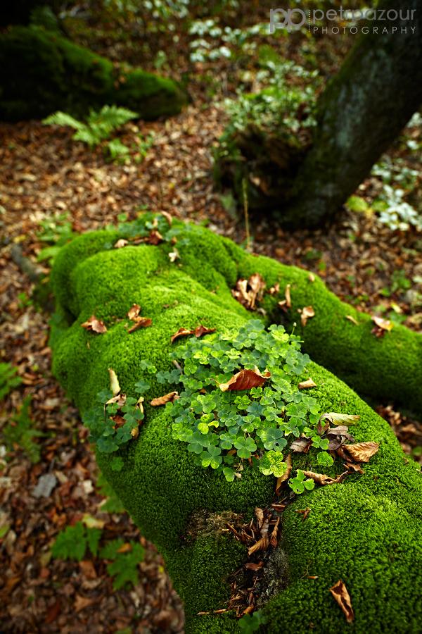 Detail - Rýchorský prales - Dvorský les