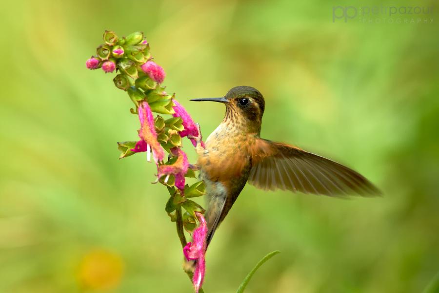 Kolibřík mozaikový