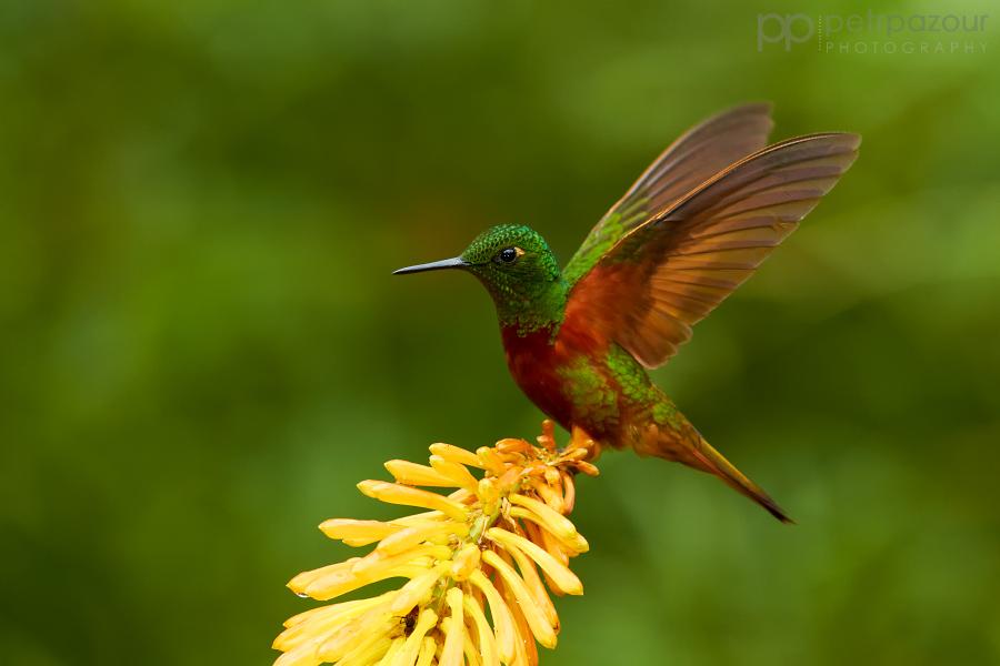 Kolibřík peruánský