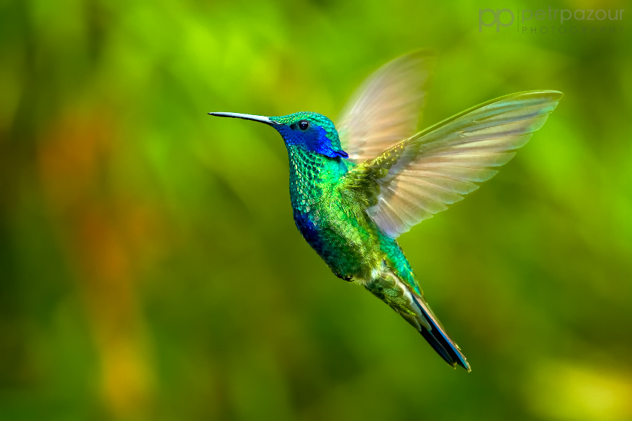 Kolibřík modrolící