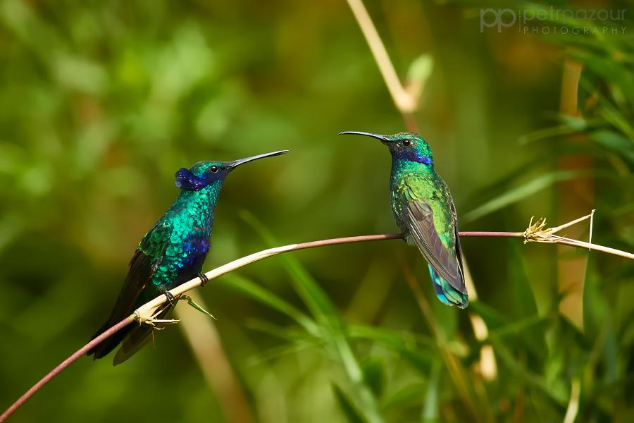 Schůzující kolibříci